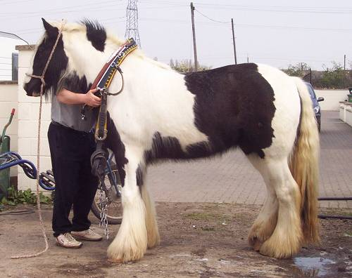 a near-perfecly conformed gypsy horse