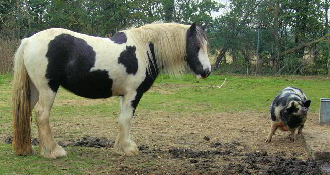 Colored gypsy horse and pig
