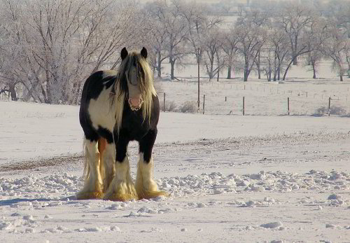 gypsy horse stallion in the winter snow